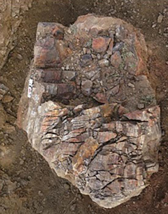 新疆晚泥盆世最大的硅化树干野外照片,直径可达70 cm。受访者供图