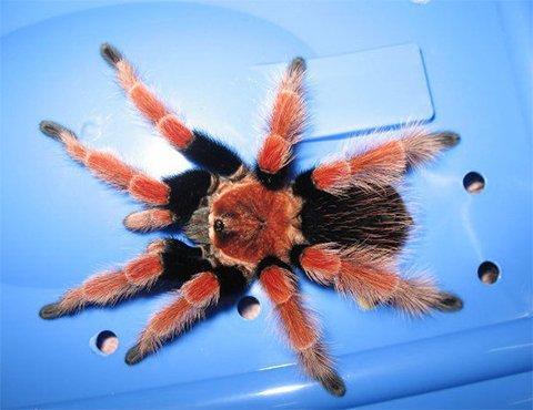墨西哥火脚蜘蛛。