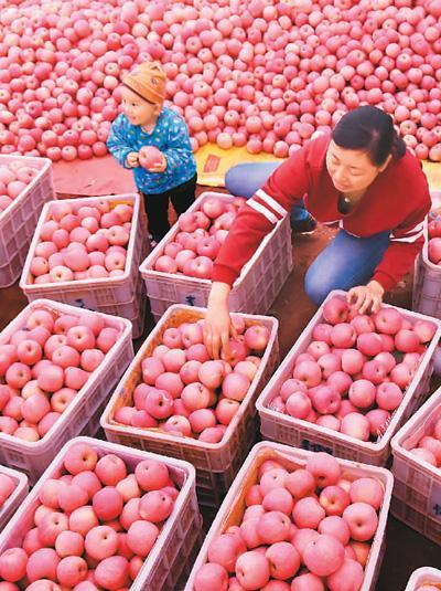 山东省沂源县通过政策驱动、资金扶持、品牌带动等措施,把苹果产业种成当地农民致富的大产业。赵东山摄(人民视觉)