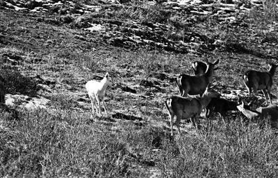 通体雪白的马鹿在深灰色的鹿群中格外显眼 摄影/才仁丁增