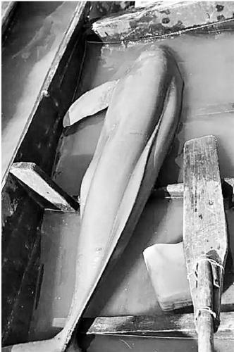 体重80多斤的大江豚在小木船中