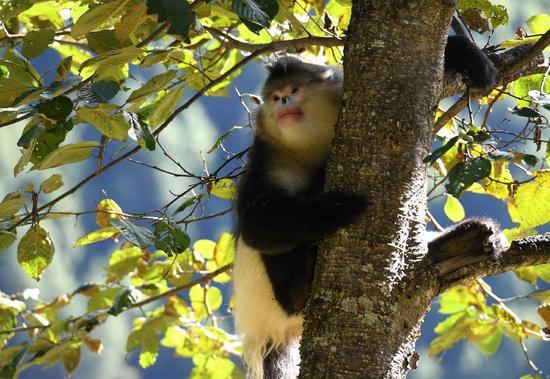 ▲香格里拉滇金丝猴国家公园里的滇金丝猴。  图/新华社