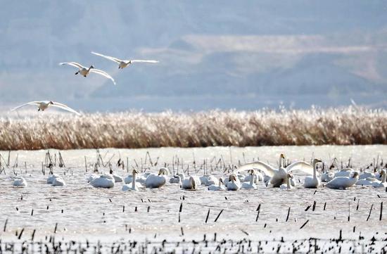 ▲近年来,官厅水库增强上游水生态湿地掩护与修复,成为天鹅、大雁等多种鸟类南北迁徙中的栖息地。 图/新华社