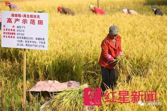▲测产当天,农户现场收割再生稻。图片泉源:红星新闻