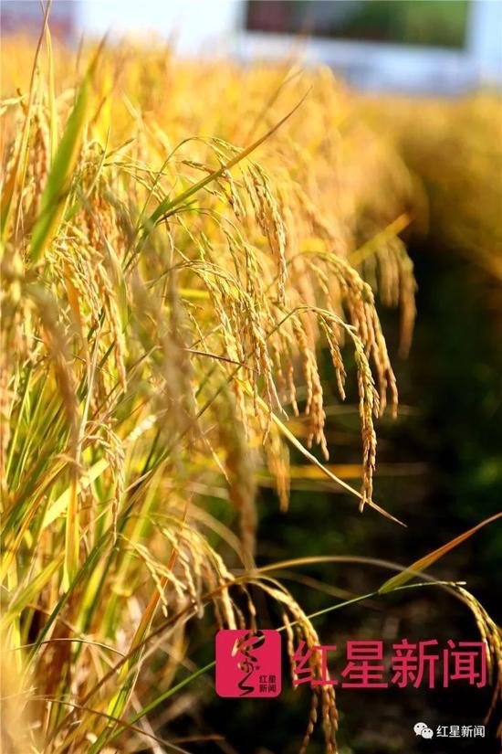 ▲再生稻长势优秀。图片泉源:红星新闻