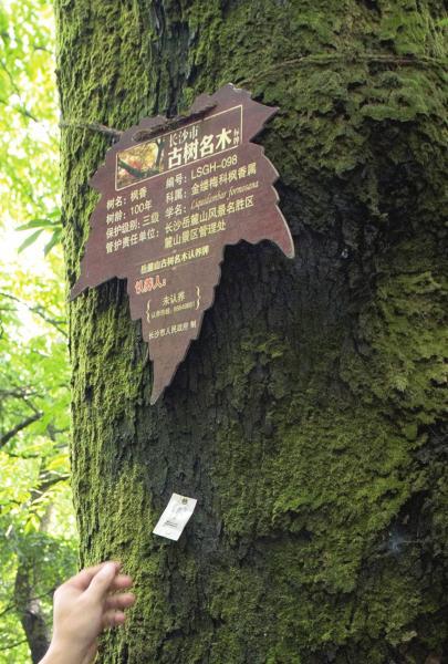 """7月9日,长沙岳麓山景区正进行生物防治,工作人员在古树名木上放置装有赤眼蜂虫卵的白色纸袋。短小精悍的赤眼蜂身长不足1毫米,战斗力却爆棚,能""""快准狠""""地把害虫消灭在萌芽阶段。图/记者谢长贵"""