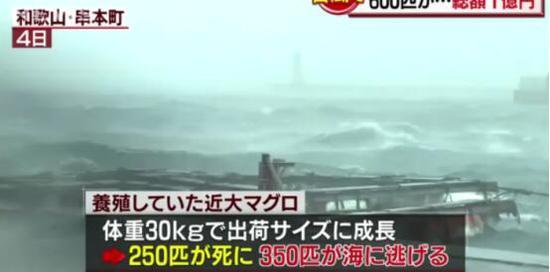 台风袭日致养殖场600条金枪鱼没了 损失约1亿日元