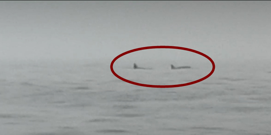 罕见!辽宁海域现成群大型海兽 在海中弓身而行
