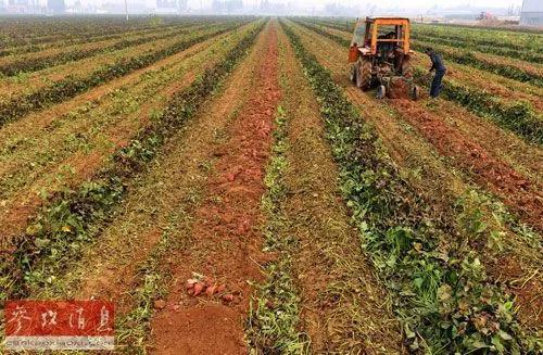 ▲资料图片:山东邹平县孙镇农业科技种植园的工人在田间收获红薯。