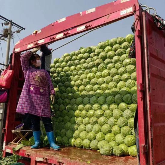 """河北多地启动应对机制:加强对北京市场供应 保障首都""""菜篮子""""图片"""