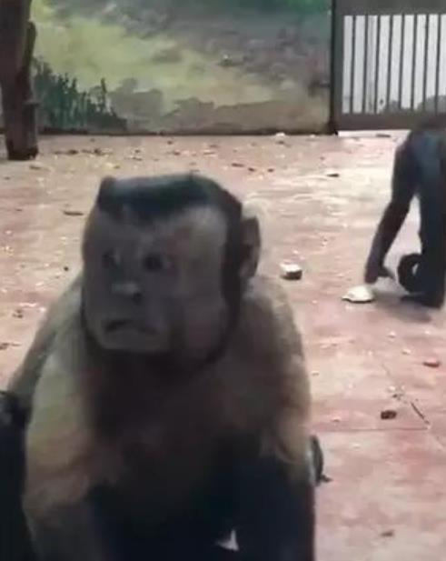 猴子长人脸