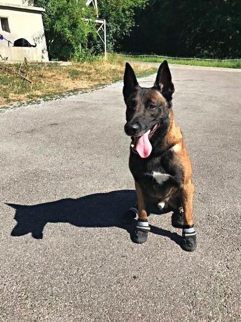 ▲蘇黎世警察局爲警犬穿上了鞋  圖據蘇黎世警局