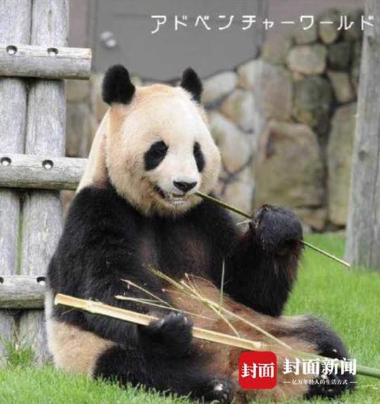 """旅日大熊猫""""良浜""""产仔 大熊猫最大海外家族壮大"""
