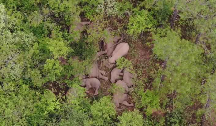 7月5日至6日,云南北移亚洲象群总体向东南方向移动