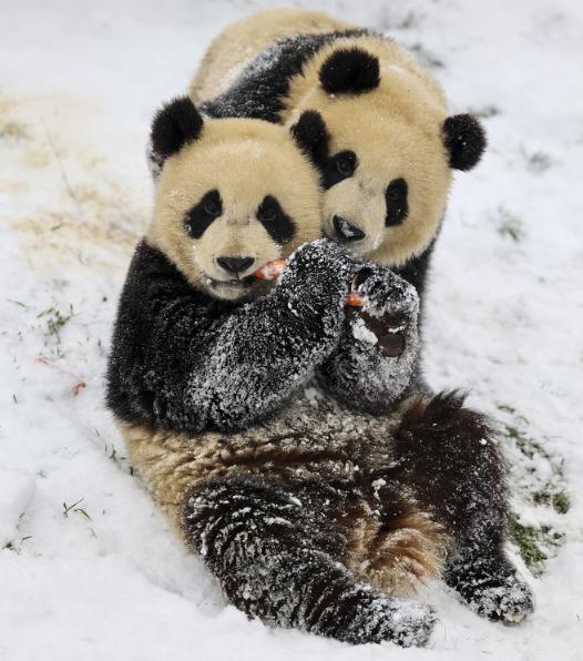 """比利时大熊猫""""天宝""""咬伤工作人员 原因不明正调查"""