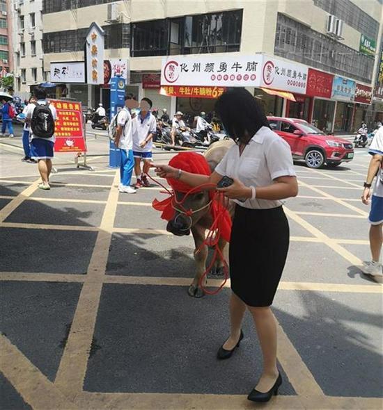 广东一考生家长送牛感谢学校,校方:很有意义,打算转送贫困户