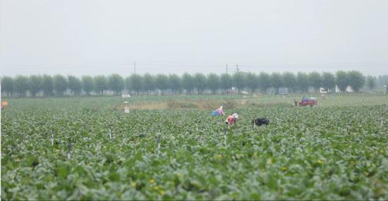 △冷凉蔬菜种植已成为当地的致富产业