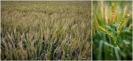 """中国科学家找到治愈小麦""""癌症""""的关键钥匙!全世界已30年无突破性进展"""