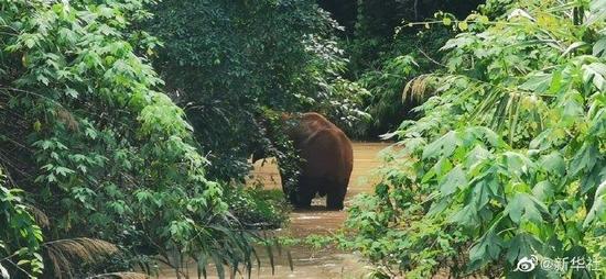 云南北移亚洲象群落单公象回家了