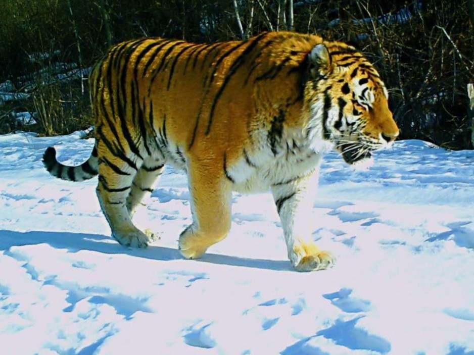 黑龙江太平沟国家级自然保护区发现4只野生东北虎图片