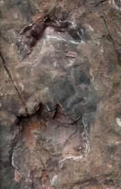 茅台镇某酒业的蜥脚类恐龙足迹,这是一对典型的前后足迹(摄影/邢立达)