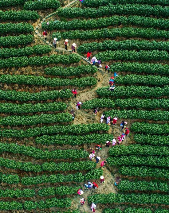 茶园采茶,拍摄于杭州,拍照师@潘劲草/星球研讨所