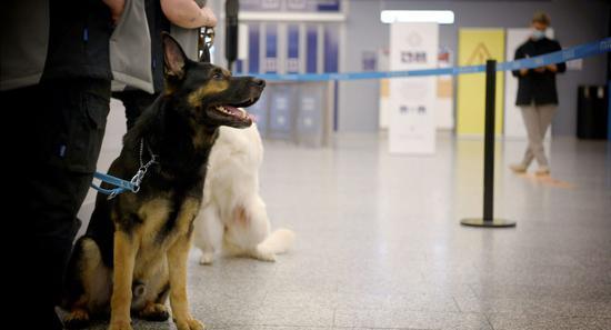 俄罗斯培训15只杂交犬 将在机场识别新冠感染者