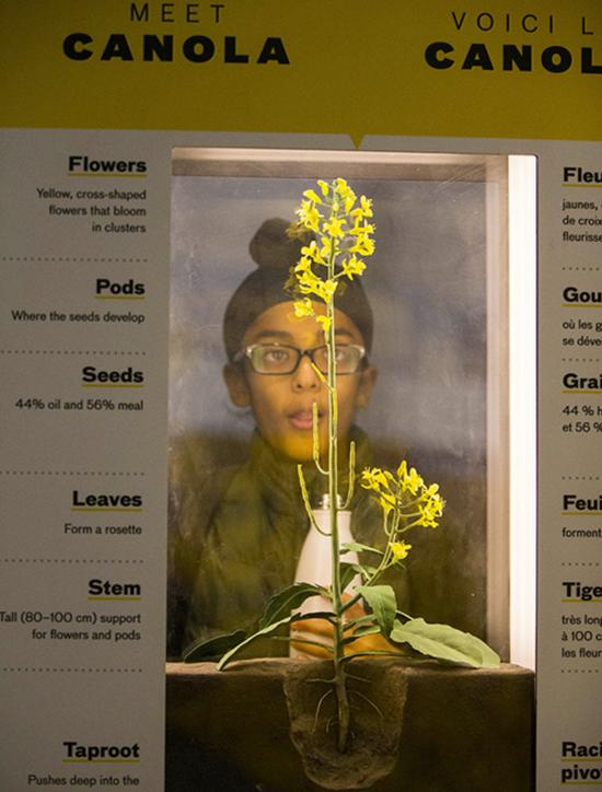 2019年11月1日,加拿大多伦多举行的农业冬季博览会上,一位观众在观察油菜籽样品。