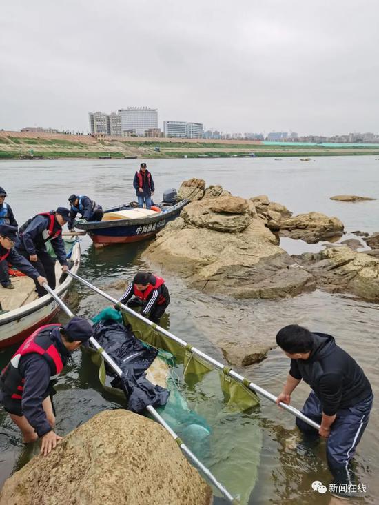 误入广西西江的中华白海豚已死亡,相关善后处理工作正在开展图片