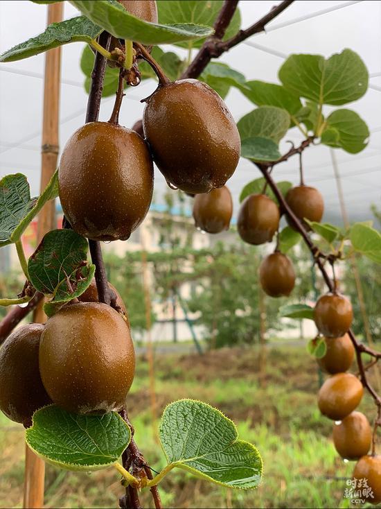 △树模基地莳植的猕猴桃有翠香、金红等品种,共240亩,估计产量达2000斤/亩,产值200余万元。(总台央视记者段德文拍摄)