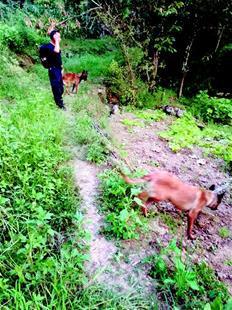 图为:警方出动警犬上山搜巡