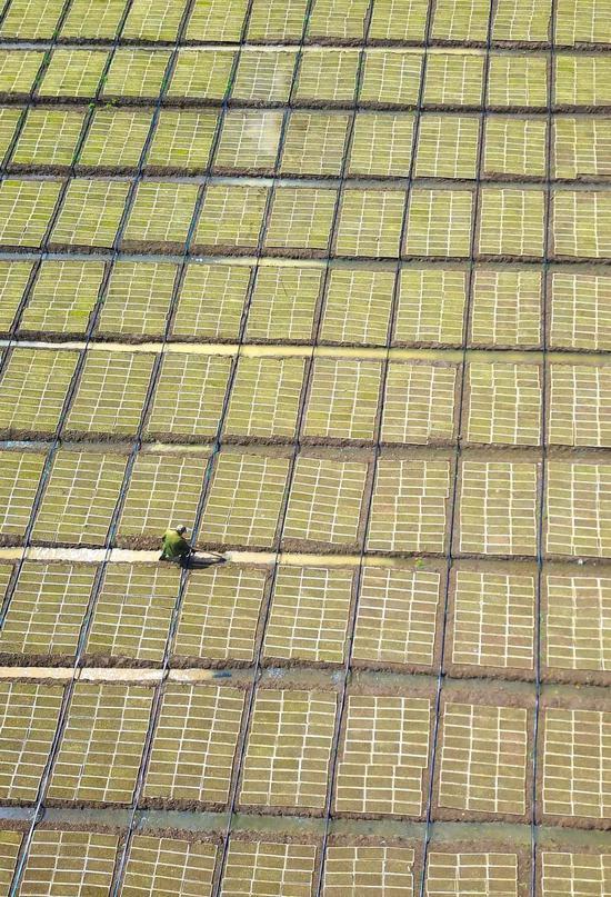 江苏宿迁一火稻栽种协作社正在培养火稻秧苗,图片滥觞@VCG