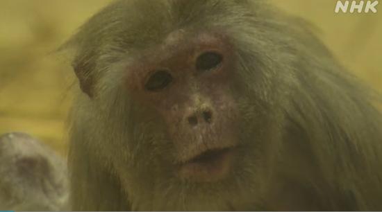 世界上最高龄猕猴年满43岁 相当于人类120岁