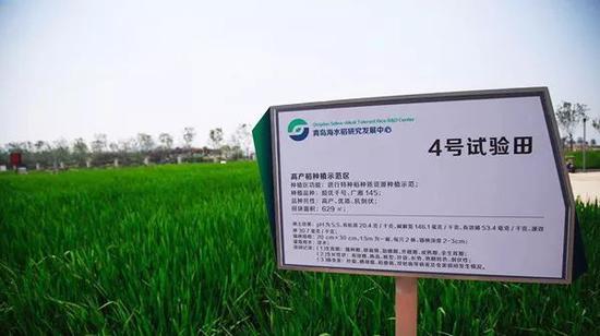 青岛海水稻研究发展中心内的海水稻试验田