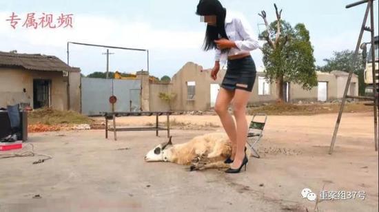 捆绑虐待视频下载_一段虐杀动物视频中,一名女子将一只羊捆绑,随后将其杀死. 视频截图
