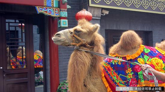 模式口大街再现骆驼巡街的场景。千龙网记者 张嘉玉摄