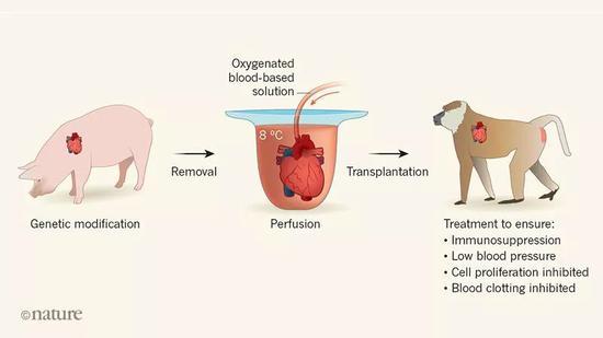 猪和狒狒换心试验成功 人类可接受动物器官移植?|狒狒|自然|器官移植
