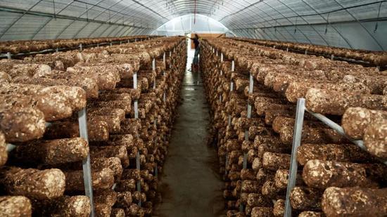 茅台团体扶持的食用菌基地