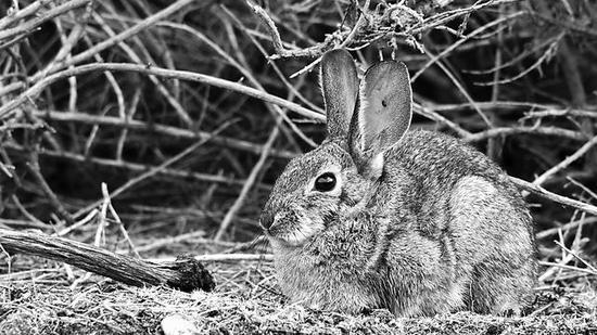 致命性病毒在野生兔群中肆虐 多物种将受威胁