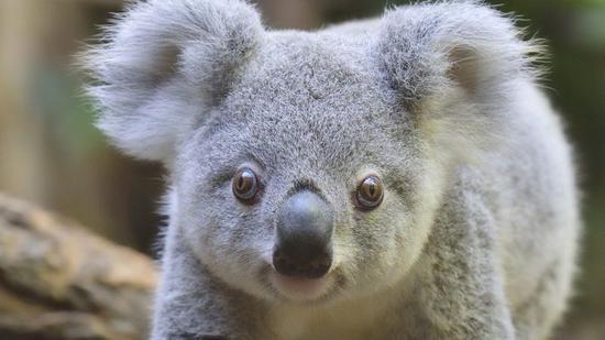 新南威尔士州的考拉面临灭绝危机(Getty)