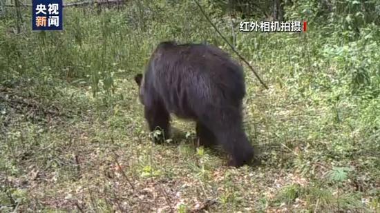小兴安岭首次找到东北虎吃熊的珍贵影像证据图片