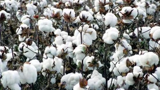 新疆棉花上全网热搜意味着什么?图片