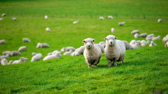 蒙古国捐赠的3万只羊如何分配?首批11267只已到武汉,援鄂医疗队也有份图片