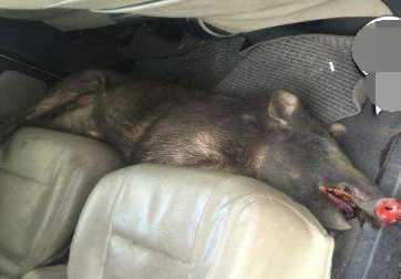 男子高速驾车撞死野猪 撒泼要求带走野猪作为赔偿