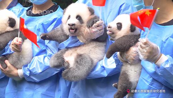 临近国庆70周年,2019年出生的大熊猫宝宝参与了一项庆祝活动。 图片来源:pandapia