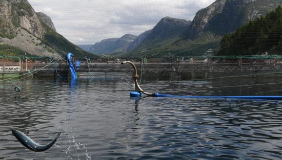 挪威急撇清:我们的三文鱼不是北京新发地疫情源头图片