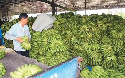 台湾今年盛产的香蕉。 (图片来自台媒)