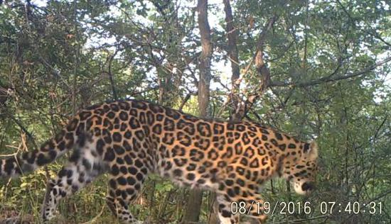 """华北豹的""""倩影""""。 所有资料由国家林业和草原局东北虎豹监测与研究中心提供。"""