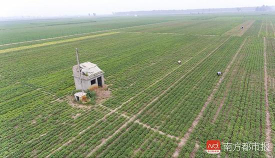 2018年7月11日,西小庄村民在最具争议的60亩土地上给花生除草。