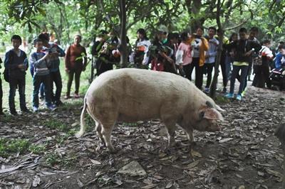 """4月25日,建川博物馆,""""猪坚强""""每次在外面散步都会引起游客的围观。新京报记者 浦峰 摄"""
